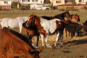 10_prenajom_koni